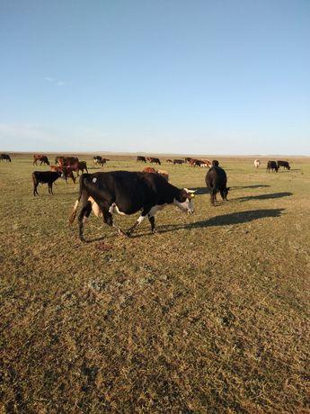 Продам коров (5 голов)