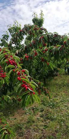 Livada pomi fructiferi situata in com. Vîrvoru de jos, jud dolj