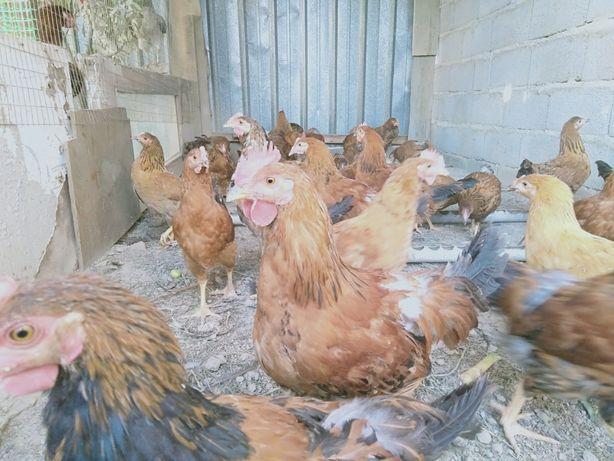 Кучинские цыплята 3 месячные