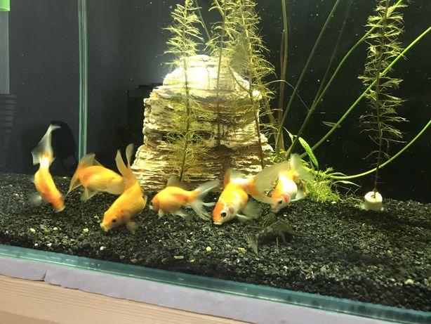 Продается Золотые рыбки