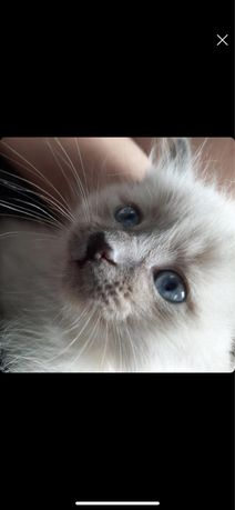 пропала сиамская кошка