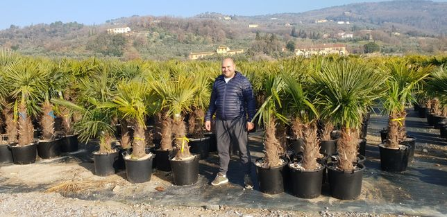 Vindem palmieri de mai multe dimensiuni la prețuri mici