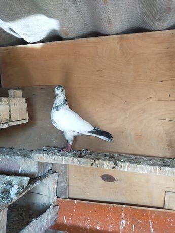 Продам голубя пакистанца
