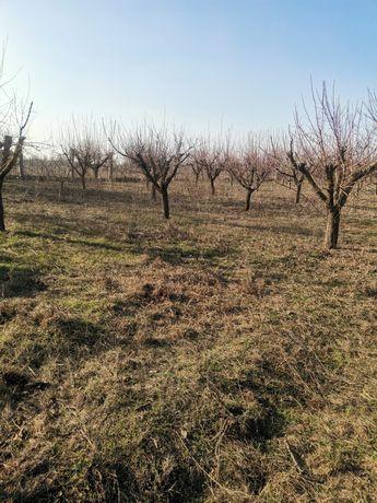 Vând livada pomi fructiferi(cais)