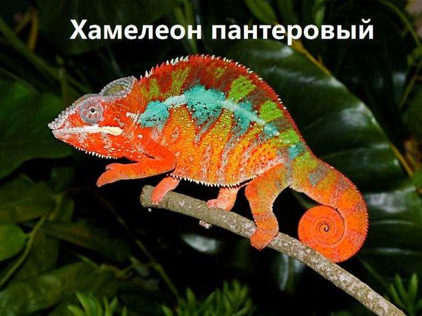 """Пантеровый хамелеон в зоомагазине """"ЖИВОЙ МИР"""""""