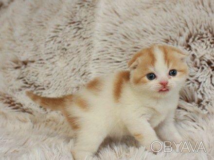 Шотланские веслоухие котята