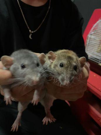 Отдам крыс девочек