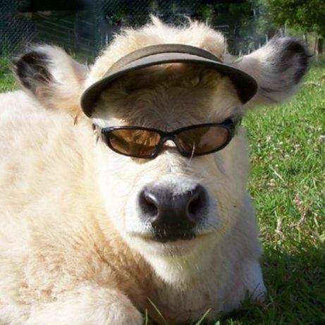 Продаётся стельная корова и первотёлки