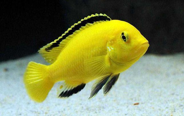 Рыбка псевдотрофеус Еллоу