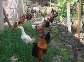 Неми и крякащи Патици, Гъски, Кокошки,Токачки и оплодени Яйца от тях.