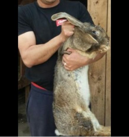 Vând iepuri urias 12 -13kg