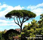 Семена от иглолистни дървета-Гигантска секвоя, Пиния, Криптомерия, Ела