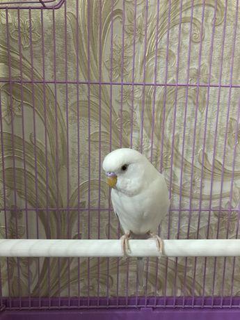 Волнистый попугай белого окраса