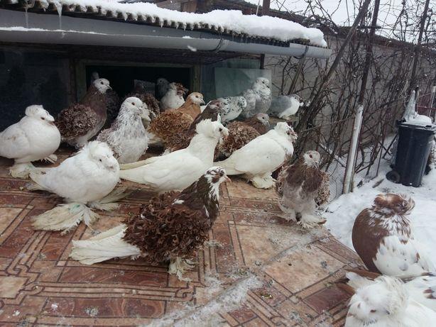 Porumbei de casă