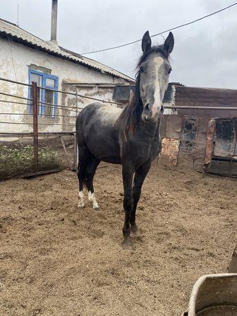 Продам жирных лошадей, крс жирные, крс с телятами