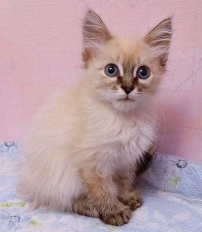 Чудесные породистые котята по низким ценам от 25 до 45