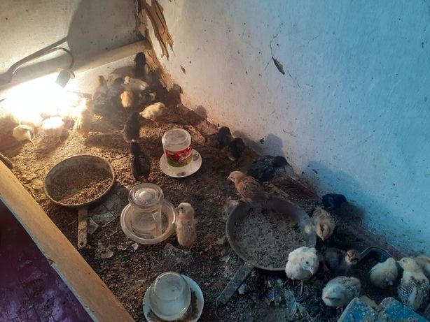 Цыплята домашние 2х недельные,белые,цветные породы несушки  пропоинные