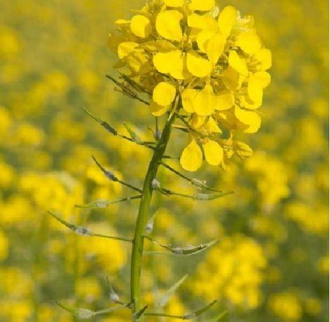 Seminte mustar alb certificata, pentru inverzire/culturi verzi 25 kg