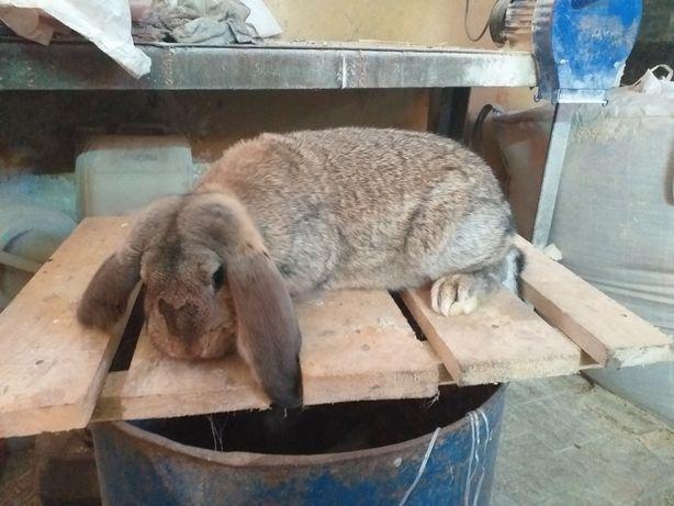 Vand iepuri rasa  berbec german!
