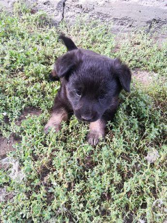 Дарю щенка, кобель 1,5 месяца