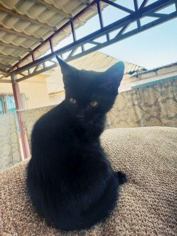 Чёрный кот мальчик 2,5 месяца