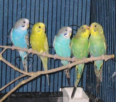 Papagali,Perusi si nimfe