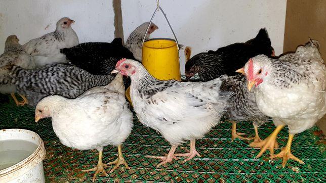 Цыплята Доминант, Адлер. Продам.