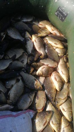 Рыба карась свежи нахожусь пригород 11 есть в наличий