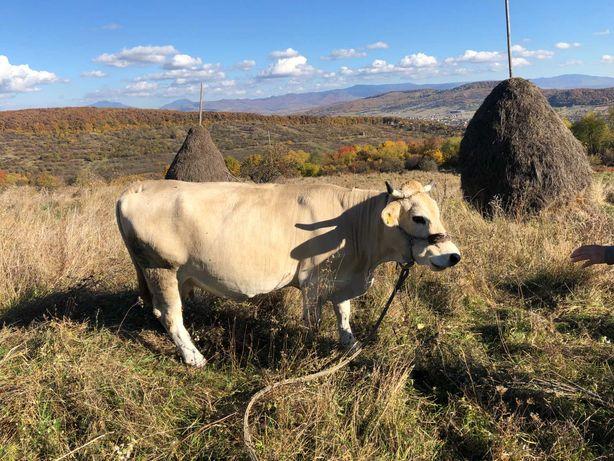 Vand vaca metis brun de Maramures