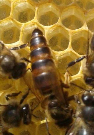 Familii de albine ecologice, bio, organice, matci selecționate, roiuri