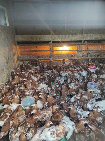 Продам цыплят породы ломан браун,только курочки.(Волжанин,Россия).