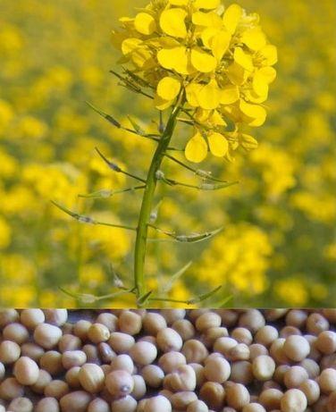 Mustar alb seminte C1, pt infiintare strat vegetal/inverzire, 25 kg