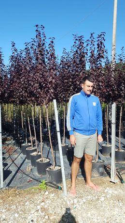Vindem plante ornamentale de mai multe dimensiuni 120cm la 3metri