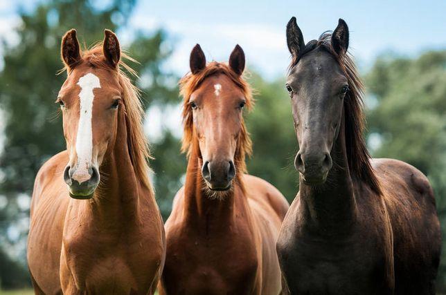 Лошадей байтал, кобыл