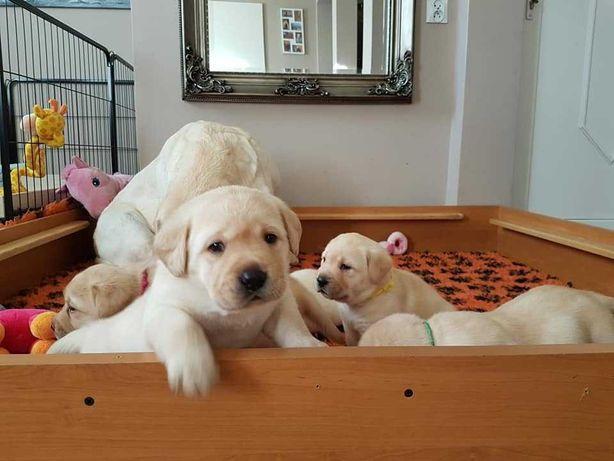Labrador Retriever aurii, masculi si femele