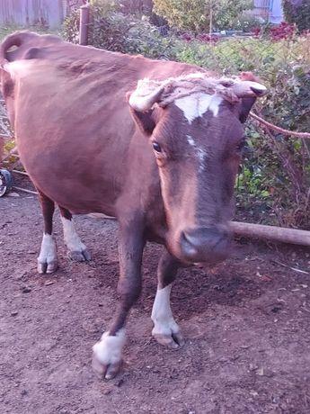 Продам доиную молочную корову