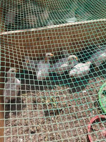 Цыплята месячные 650 тенге