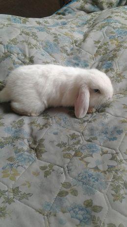 Кролик Французский баран  декоративный