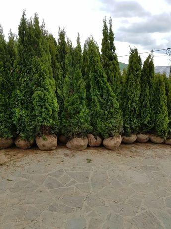 Plante ornamentale calitatea 1 prețuri accesibile