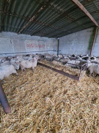 Vand 155 de oi tigaie tinere