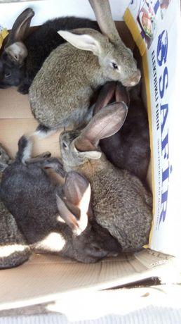 Кролик продам
