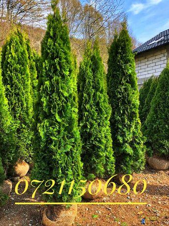 Tuia occidentalis smaragd, thuja, brazi gard viu perdea verde naturala