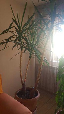 Planta ornamentala - Yucca