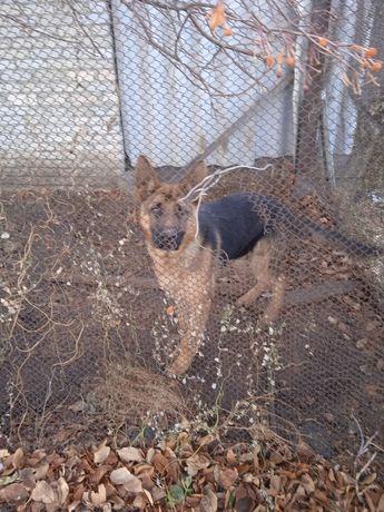 Собака порода немец.чистопородная
