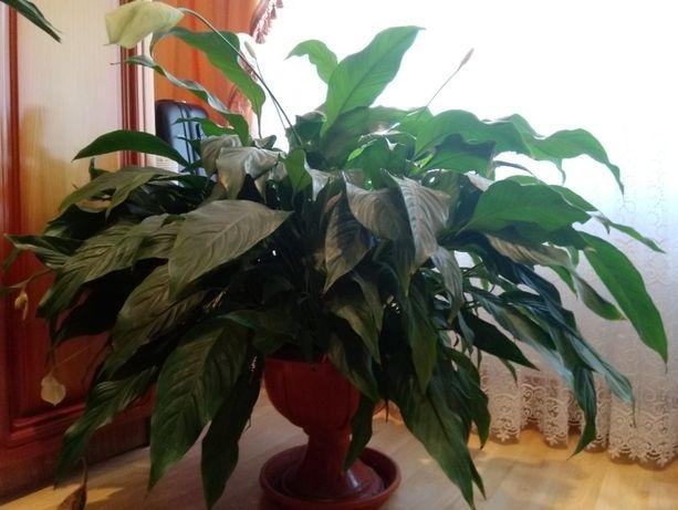 Plantă de apartament/ birou