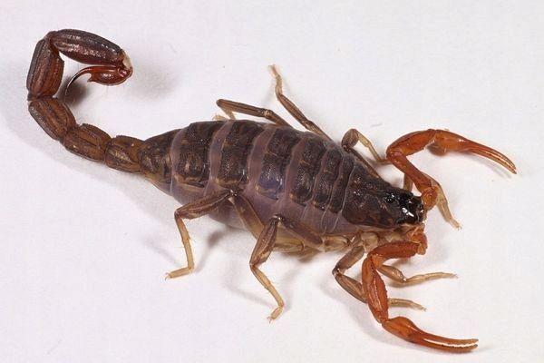 Продам скорпионов Luchas tricarinatus