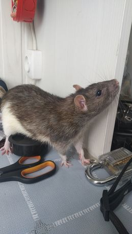 Крыс домашний 9мес
