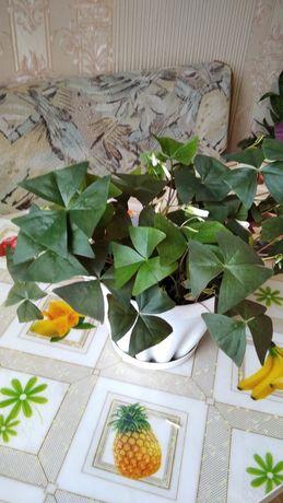 Продам цветок бабочки.кислица. зелёного..и фиолетового цвета.