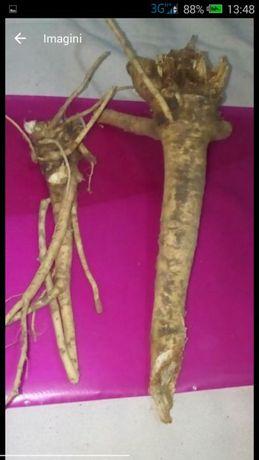 Branca ursului  rădăcină și semințe