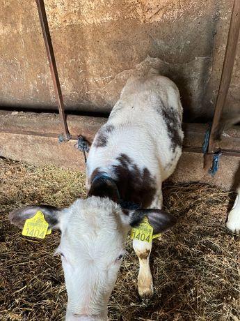 De vânzare 3 vitele